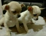 2 Chihuahua Mädchen