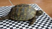 2 gr. Landschildkröten -