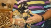 2 kleine Chihuahuas!