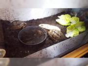 2 Maurische Landschildkröten