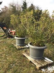 2 Riesige Oleander