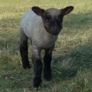 2 Shropshire Schafe