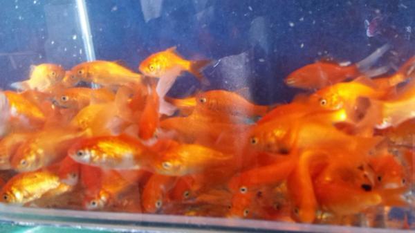 Goldfisch kleinanzeigen aquarium und fische deine for Aquarium goldfische