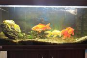 200l Eheim Aquarium mit Unterschrank und 4 Goldfische Goldfisch, männlich, Kaltwasserfisch, Aquarium, Aquariumzubehör. Wegen Umzugs haben wir 4 ... 150,- D-69168Wiesloch Heute, 17:24 Uhr, Wiesloch - 200l Eheim Aquarium mit Unterschrank und 4 Goldfische Goldfisch, männlich, Kaltwasserfisch, Aquarium, Aquariumzubehör. Wegen Umzugs haben wir 4