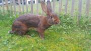 3 Kaninchen tätowiert,