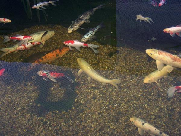 Aquaristik in dannstadt schauernheim kaufen bei for Zierfisch teich