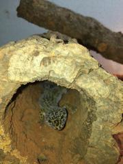 4 Leopardgeckos weiblich