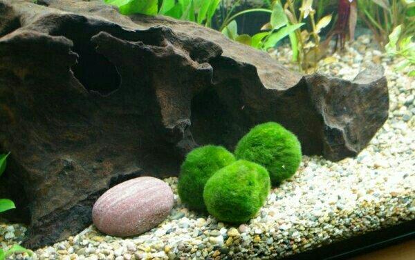 5 mooskugel live lebende wasserpflanze in m nchen. Black Bedroom Furniture Sets. Home Design Ideas