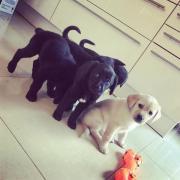 5 wunderschöne Labradorwelpen