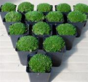 japanischer garten pflanzen pflanzen garten g nstige angebote. Black Bedroom Furniture Sets. Home Design Ideas