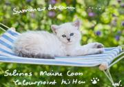 7 Maine Coon