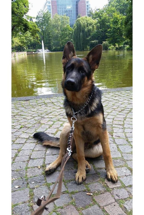 8 monate alter deutscher sch ferhund abzugeben in frankfurt hunde kaufen und verkaufen ber. Black Bedroom Furniture Sets. Home Design Ideas