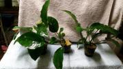 Anubias Pflanze