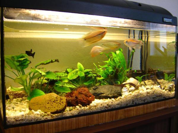 aquarium 60x30x30 mit fische aquaristik aus berlin prenzlauer berg. Black Bedroom Furniture Sets. Home Design Ideas