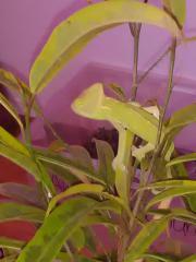 Baby jemenchameleon