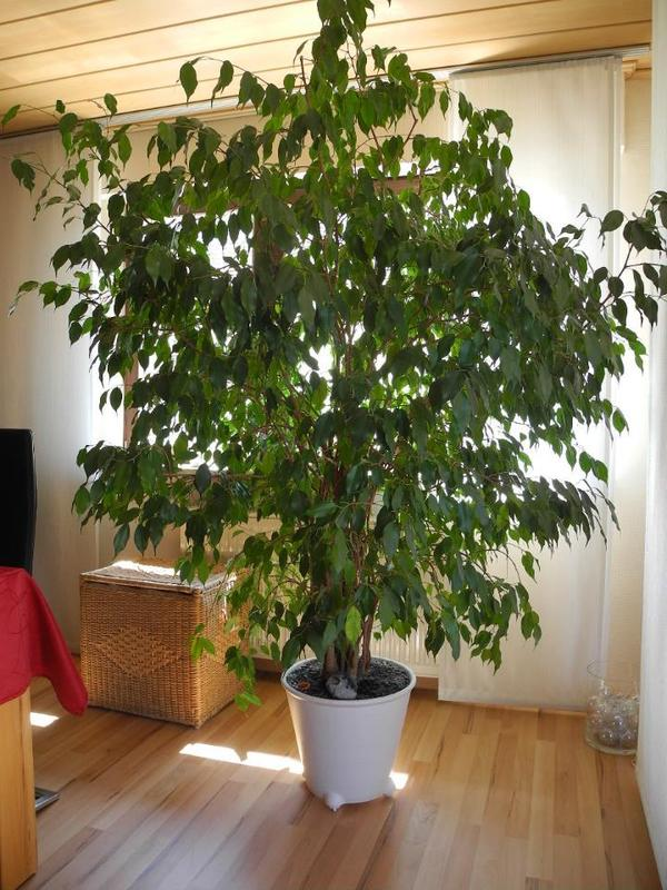 pflanzen b ume str ucher pflanzen garten mannheim gebraucht kaufen. Black Bedroom Furniture Sets. Home Design Ideas