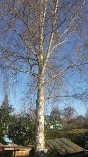 birkenbaum fählen