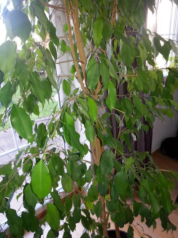 birkenfeige ficus benjamina in grasbrunn pflanzen kaufen und verkaufen ber private kleinanzeigen. Black Bedroom Furniture Sets. Home Design Ideas