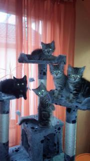 Birma Mix Kitten