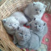 Bkh Kitten. reinrassig.