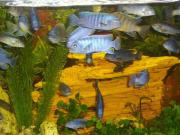 Blaue Barsche Jungtiere