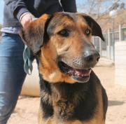 CALISTO - entspannter Schäferhund-