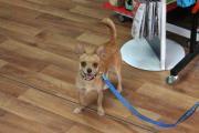 Chihuahua-Mix, Nelson