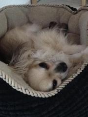 Chihuahua-Rüde