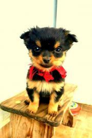 Chihuahua-Welpe Cocco