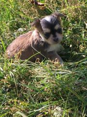 Chihuahua Welpen suchen