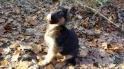 Deutsche Schäferhunde Welpen -