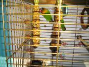 Die Unzertrennlichen - Liebesvögel