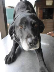 Dina- graue Labrador