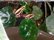 Dreifarben Blattsteiger, Epipedobates