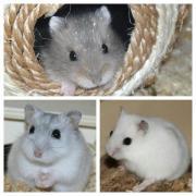 Dsungarische Zwerghamster - Hamster