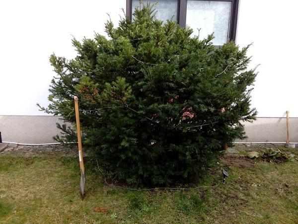 eibe strauch busch in speyer pflanzen kaufen und verkaufen ber private kleinanzeigen. Black Bedroom Furniture Sets. Home Design Ideas