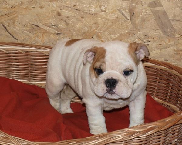 englische bulldogge in ulm hunde kaufen und verkaufen. Black Bedroom Furniture Sets. Home Design Ideas