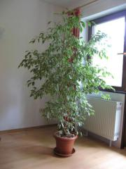 Ficus benjamina 2m