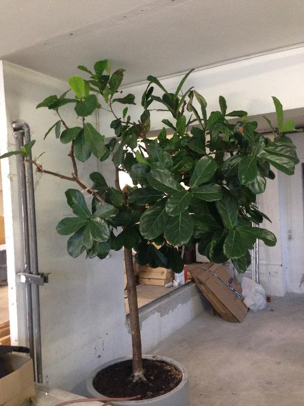 geigenfeige zimmerpflanze in hard pflanzen kaufen und. Black Bedroom Furniture Sets. Home Design Ideas