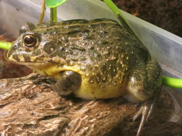 grabfrosch bullfrog pixie in ha loch reptilien terraristik kaufen und verkaufen ber private. Black Bedroom Furniture Sets. Home Design Ideas