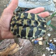 Griechische Landschildkröte Luisa