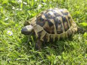 Griechische Landschildkröte - THH -