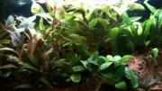 grosses Pflanzenpaket Anubias,