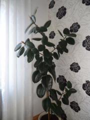 Gummibaum, Ficus elastica