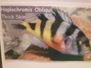 Haplochromis Obliqui Buntbarsch