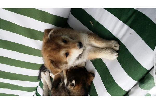 husky hirten hund mix in maierh fen hunde kaufen und. Black Bedroom Furniture Sets. Home Design Ideas