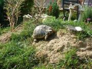 Italienische Landschildkröten NZ (