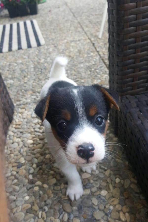 Jack Russel Terrier Welpe In Satteldorf Hunde Kaufen Und