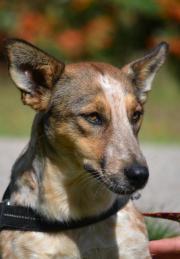 Jucika, eine Foxterrier-