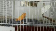 Kanarienvogel zu verkaufen.